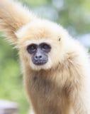 Stäng sig upp framsida av den var fräck mot vita handen Gibbon för vit eller Lar Gibbon royaltyfria foton