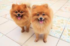 Stäng sig upp framsida av manlig pomeranian hund som två står och håller ögonen på t Royaltyfria Bilder