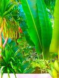 Stäng sig upp friskhet och stora sidor av ormbunken för redet för fågel` s i den tropiska trädgården Arkivbilder