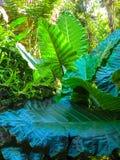 Stäng sig upp friskhet och stora sidor av ormbunken för redet för fågel` s i den tropiska trädgården Arkivfoto