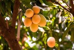 Stäng sig upp gruppen av den Maprang eller Bouea macrophyliaen eller Griffith, lokalt thailändskt växa för frukt upp i trädgården arkivbild
