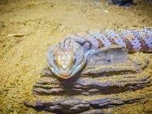 Stäng sig upp huvudet av den flammiga Blått-spontade ödlan (den Tiliqua nigroen arkivfoton