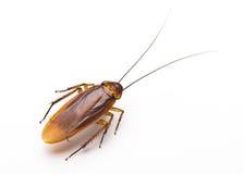 Stäng sig upp kackerlacka på vit bakgrund Arkivfoton