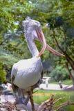 Stäng sig upp korsad musen Fläck-fakturerad pelikan i dammzoo Fotografering för Bildbyråer