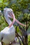 Stäng sig upp korsad musen Fläck-fakturerad pelikan i dammzoo Arkivbilder
