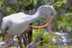 Stäng sig upp korsad musen Fläck-fakturerad pelikan i dammzoo Arkivfoto