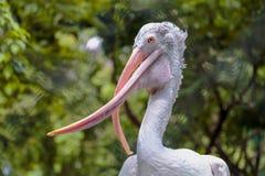Stäng sig upp korsad musen Fläck-fakturerad pelikan i dammzoo Royaltyfri Foto