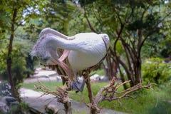 Stäng sig upp korsad musen Fläck-fakturerad pelikan i dammzoo Arkivfoton