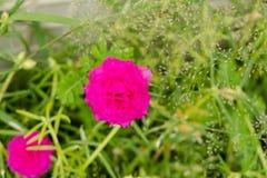 Stäng sig upp ljust - den grandiflora blomman för den rosa portulacaen arkivfoton