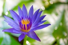 Stäng sig upp lotusblomma och sidor på vattnet arkivbilder