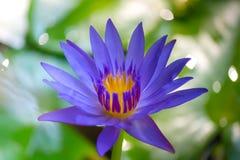 Stäng sig upp lotusblomma och sidor på vattnet royaltyfri fotografi
