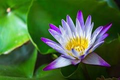 Stäng sig upp lotusblomma och sidor på vattnet Arkivfoto
