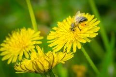 Stäng sig upp makroen av biet som samlar pollen på blommande gul dande Arkivbild