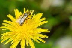 Stäng sig upp makroen av biet som samlar pollen på blommande gul dande Royaltyfri Foto