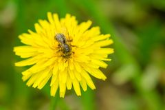 Stäng sig upp makroen av biet som samlar pollen på blommande gul dande Arkivfoto