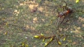 Stäng sig upp myror eller termit för makro röda på det gamla förmultna trät stock video
