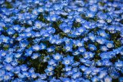 Stäng sig upp nemophila på parkera i Japan royaltyfri fotografi