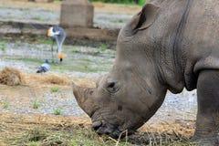 Stäng sig upp noshörning Fotografering för Bildbyråer