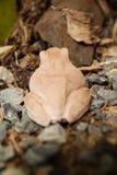 Stäng sig upp och fokusera buskegrodan, Polypedatesleucomystax, trädgroda/typ av dimma i natur Arkivfoto
