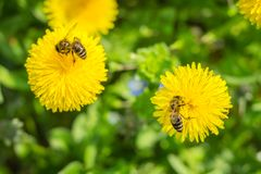 Stäng sig upp ofbeen som samlar pollen på den blommande gula maskrosen fl Royaltyfria Foton