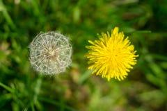 Stäng sig upp ofbeen som samlar pollen på den blommande gula maskrosen fl Arkivbild