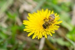 Stäng sig upp ofbeen som samlar pollen på den blommande gula maskrosen fl Fotografering för Bildbyråer