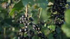 Stäng sig upp på en svart vinbär i mitt av sidorna stock video