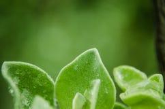 Stäng sig upp på gröna sidor med regndroppar på deras sidor, regnig dag på gröna sidor arkivbilder