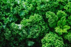 Stäng sig upp på grönkål, grön bakgrund eller textur royaltyfri foto