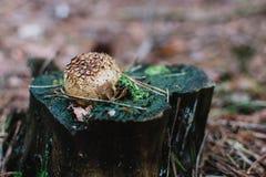 Stäng sig upp på Lycoperdonperlatum på trädet Arkivfoton
