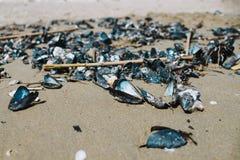 Stäng sig upp på musslor på stranden efter stormen Fotografering för Bildbyråer