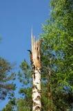 Stäng sig upp på stormskada, bruten trädöverkant royaltyfria foton