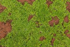 Stäng sig upp på ung mossa som växer på en röd tegelsten Arkivfoto
