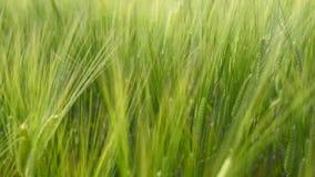 Stäng sig upp rörande vetefält på blåsig dag stock video