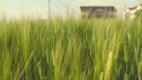 Stäng sig upp rörande vetefält på blåsig dag lager videofilmer