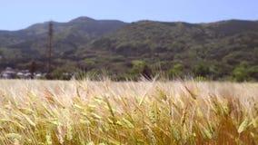 Stäng sig upp rörande vetefält på blåsig dag arkivfilmer