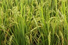 Stäng sig upp ricefält Arkivbilder
