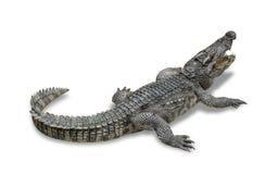 Stäng sig upp sötvattens- krokodil på golvcementet Royaltyfri Foto