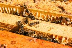 Stäng sig upp sikt av de funktionsdugliga bina på honungskakan Arkivfoto