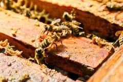 Stäng sig upp sikt av de funktionsdugliga bina på honungskakan Arkivbilder