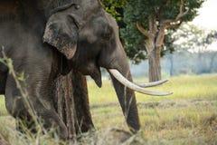 Stäng sig upp sikt av den asiatiska elefantens huvud som fotograferas i djungelse Fotografering för Bildbyråer