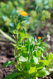 Stäng sig upp sikt av den orange Calendulaofficinalisringblomman Royaltyfri Bild