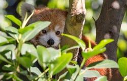 Stäng sig upp sikt av en kamouflerad röd panda Arkivbild