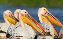 Stäng sig upp sikt av ett huvud av vita pelikan Arkivbilder