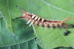 Stäng sig upp sikt av larven av tuvamalen Orgyia Postica Fotografering för Bildbyråer