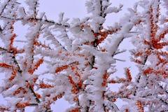 Stäng sig upp sikt på bär i vintern som täckas med snö royaltyfria bilder