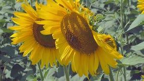 Stäng sig upp sikt på två solroshuvud som växer i jordbruks- fält Bi som samlar farina från solrosen Solrosor arkivfilmer