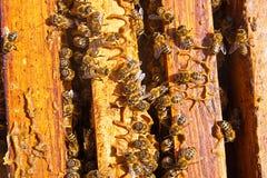 Stäng sig upp sikten av bina som svärmer på en honungskaka Fotografering för Bildbyråer