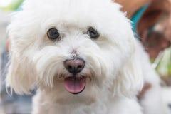Stäng sig upp sikten av huvudet av den vita Bolognese hunden Royaltyfria Foton