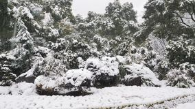 Stäng sig upp sikten av snö som faller på trädfilialerna Snöa nedgångar från trädfilial i en parkera stock video